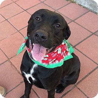 Labrador Retriever Mix Dog for adoption in Denver, Colorado - Quincy