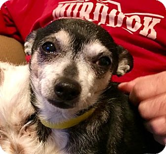 Chihuahua Mix Dog for adoption in ST LOUIS, Missouri - GILLEY