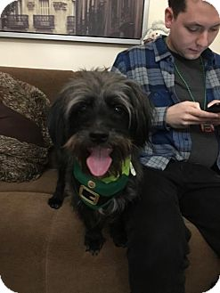 Schipperke/Chihuahua Mix Dog for adoption in Brooklyn, New York - Hershey