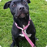 Pit Bull Terrier Dog for adoption in Tremont, Illinois - Vader