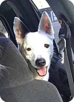 Australian Cattle Dog Mix Dog for adoption in Columbia, South Carolina - Chico