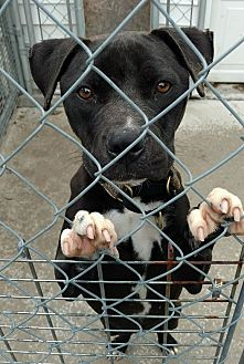 Pit Bull Terrier/Labrador Retriever Mix Dog for adoption in Hanna City, Illinois - Zoey