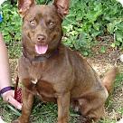 Adopt A Pet :: Izzy (17 lb) Great Family Pet