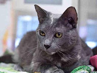 Domestic Mediumhair Cat for adoption in Austin, Texas - *WINNIE