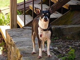 Chihuahua/Terrier (Unknown Type, Small) Mix Dog for adoption in kennebunkport, Maine - Mabel - in Maine