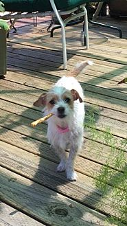 Terrier (Unknown Type, Small) Dog for adoption in Livermore, California - Tinkerbell