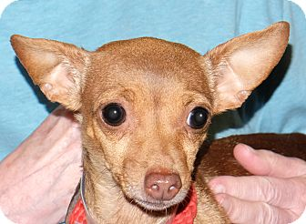 Chihuahua Mix Dog for adoption in Spokane, Washington - Nutmeg