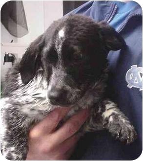 Beagle/Basset Hound Mix Puppy for adoption in Manassas, Virginia - Elrod