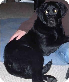 Labrador Retriever Mix Puppy for adoption in Evergreen, Colorado - Frenchy