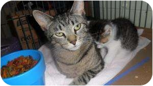 Domestic Shorthair Cat for adoption in Trenton, New Jersey - Misty (in foster)
