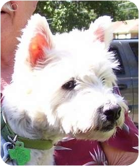 Westie, West Highland White Terrier Dog for adoption in Frisco, Texas - Maxwell Clancy