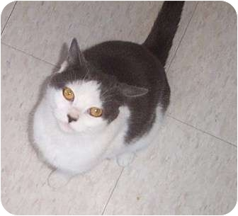 Domestic Shorthair Cat for adoption in Columbia, South Carolina - Willow