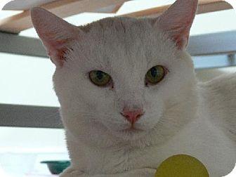 Domestic Shorthair Cat for adoption in Ottawa, Ontario - Dusty