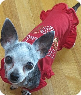 Chihuahua Mix Dog for adoption in San Diego, California - Opal