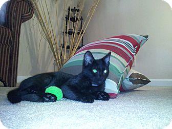 Domestic Shorthair Kitten for adoption in Harrisburg, North Carolina - Itty-Bitty