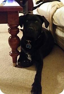 Labrador Retriever/Hound (Unknown Type) Mix Puppy for adoption in Cincinnati, Ohio - Monte