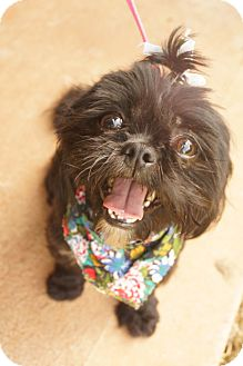 Shih Tzu Puppy for adoption in Newark, Delaware - Lilah