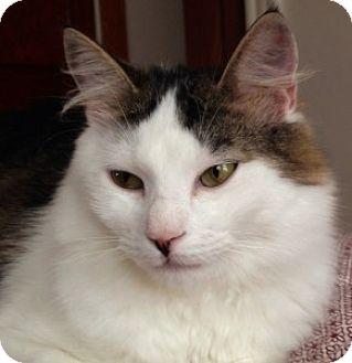 Domestic Longhair Kitten for adoption in Medford, Massachusetts - Alfonso
