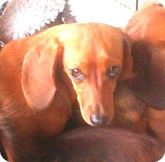 Dachshund Dog for adoption in Mary Esther, Florida - Princess