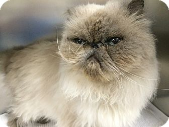 Himalayan Cat for adoption in Jackson, New Jersey - Harley