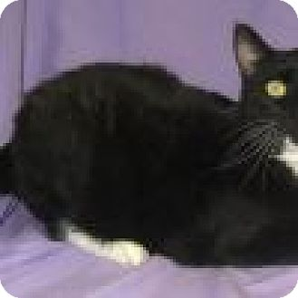 Domestic Shorthair Cat for adoption in Powell, Ohio - Gabriel