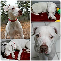 Adopt A Pet :: Powder - Forked River, NJ