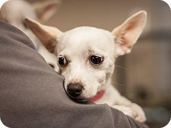 Chihuahua/Dachshund Mix Puppy for adoption in Dallas, Texas - Lydia