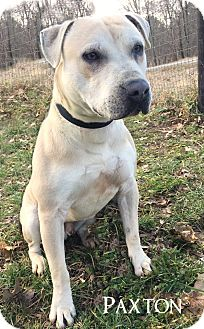 Staffordshire Bull Terrier Mix Dog for adoption in Franklin, Tennessee - Paxton - Pending adoption