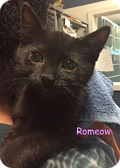 Domestic Shorthair Kitten for adoption in Cliffside Park, New Jersey - ROMEOW