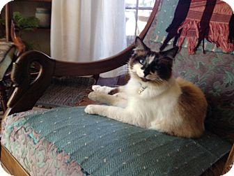 Siamese Cat for adoption in Alamo, California - Mocha
