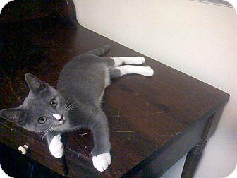 Domestic Shorthair Kitten for adoption in Raleigh, North Carolina - MELVIN