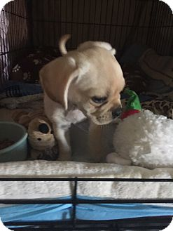 Cavalier King Charles Spaniel/Pug Mix Puppy for adoption in Corona, California - Snuggy, 8 wk King Cavelier/pug