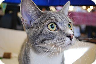 Domestic Shorthair Cat for adoption in Exton, Pennsylvania - Bonnie (Foster)