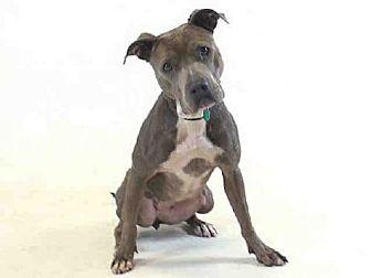 Pit Bull Terrier Dog for adoption in Sanford, Florida - DENA