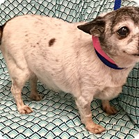 Adopt A Pet :: Fatty Patty - Phoenix, AZ