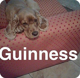Cocker Spaniel Dog for adoption in Mesa, Arizona - GUINNESS- 1 1/2 YR SPANIEL