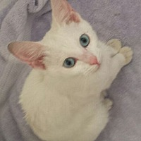 Adopt A Pet :: Snow White - oakland park, FL