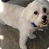 Adopt A Pet :: Buddy Boy - Phoenix, AZ