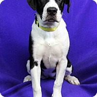 Adopt A Pet :: Mocha - Westminster, CO
