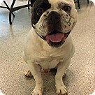 Adopt A Pet :: Dozer (The Frenglish)