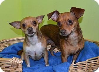 Chihuahua/Dachshund Mix Dog for adoption in Michigan City, Indiana - Max & Marley