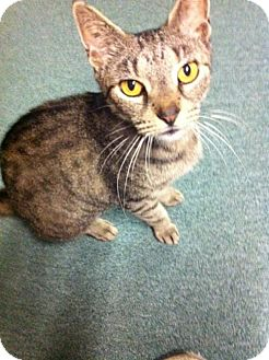 Domestic Shorthair Cat for adoption in Harrisburg, Pennsylvania - Mommy Mia (adult female)