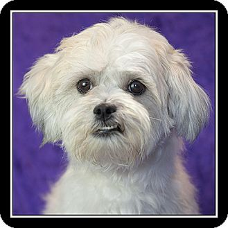 Shih Tzu/Poodle (Miniature) Mix Dog for adoption in San Diego, California - Cookie