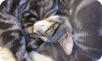 Domestic Shorthair Kitten for adoption in West Palm Beach, Florida - Bobbie