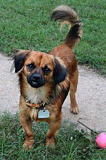 Pekingese/Mixed Breed (Small) Mix Dog for adoption in Shreveport, Louisiana - Lenny