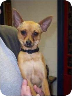 Chihuahua Dog for adoption in Kansas City, Missouri - Walter