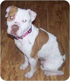 Pit Bull Terrier Mix Dog for adoption in Sacramento, California - Ida!