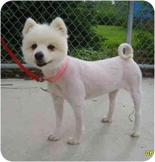 American Eskimo Dog/Bichon Frise Mix Dog for adoption in Austin, Minnesota - Marshmallow