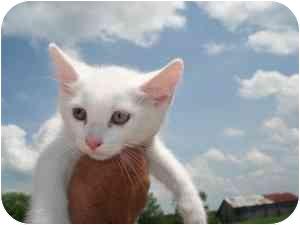Domestic Shorthair Kitten for adoption in Lonedell, Missouri - Cotton 2