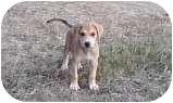 Redbone Coonhound/Hound (Unknown Type) Mix Puppy for adoption in Hagerstown, Maryland - Austin